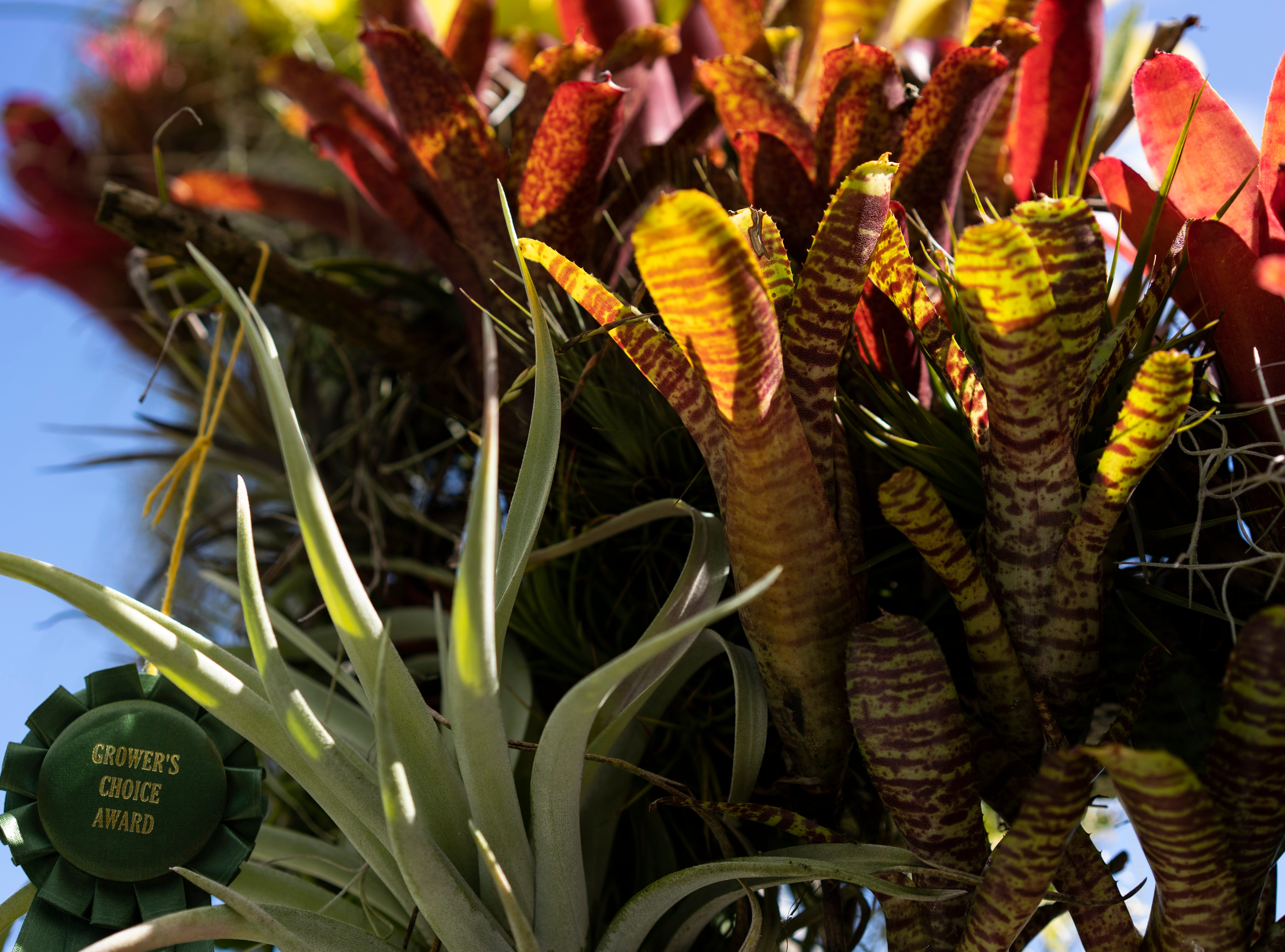 Some Bromeliad, a type of air plant, hands at Joel Toledo's Green Door Nursery in East Naples. Toledo will be offering a class for making air plant wreaths in December.