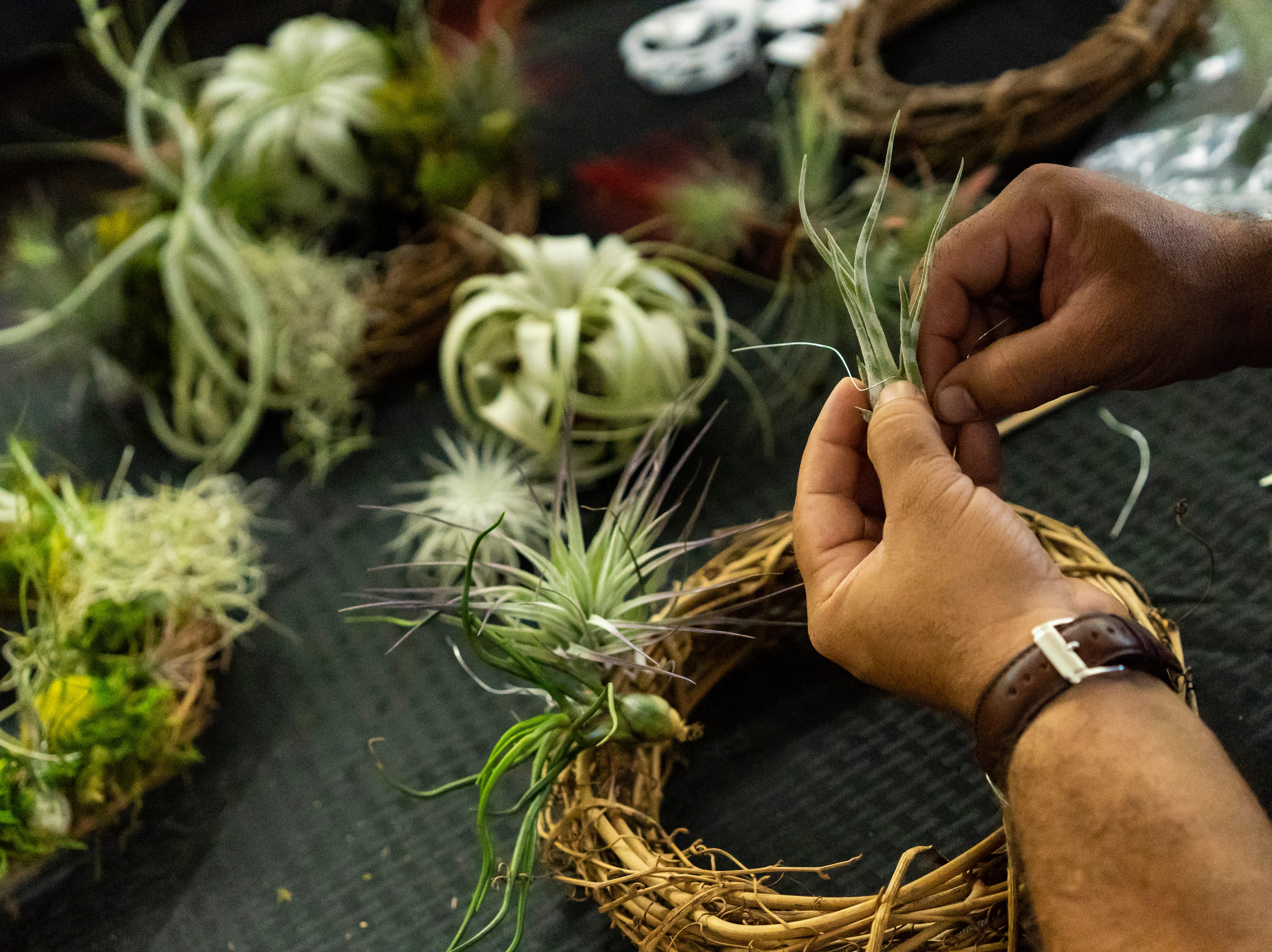 Air plant lay scattered on the demonstration table as Joel Toledo, the 11 year owner of Green Door Nursery in East Naples, wedges the florist wire around the leaves before attachinng them to the grapevine wreath to make the holiday decoration on Tuesday, Nov. 20, 2018. Toledo will be offering a minute hands-on class for $60 come December.