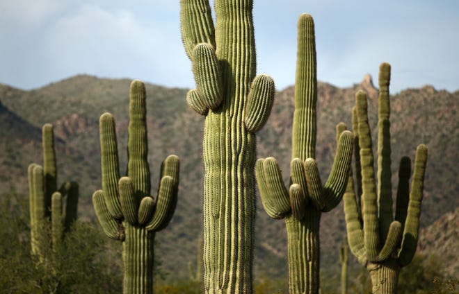 Saguaro are seen near Maricopa Trail at the White Tank Mountain Regional Park on Nov. 20, 2018, in Waddell.