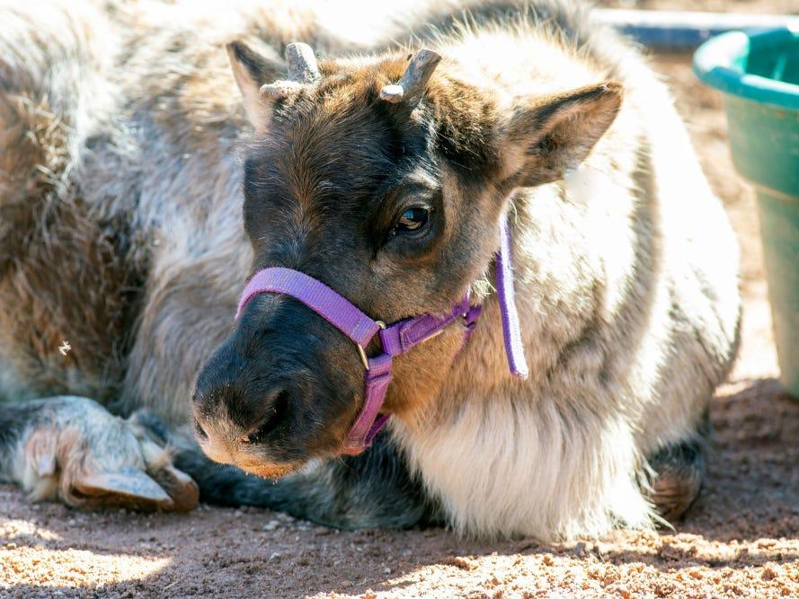 Look: Baby reindeer at Phoenix Zoo is adorable