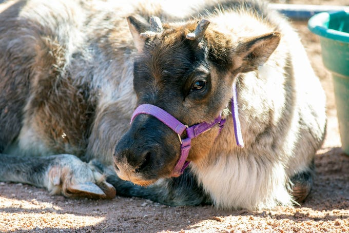 The baby reindeer at the Phoenix Zoo pauses to look right at the camera.