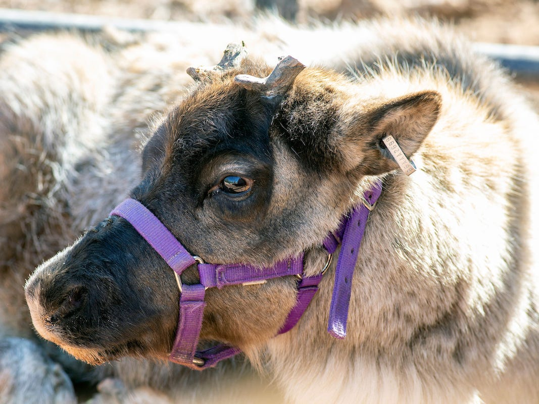 The baby reindeer is part of a herd that has arrived at the Phoenix Zoo and will be part of nightly appearances during the 2018 ZooLights.