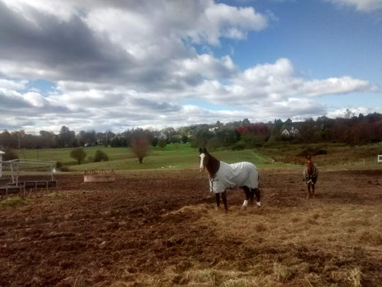 Horses graze in a field at A Pony's Paradise Equine Rescue in LaGrangeville.