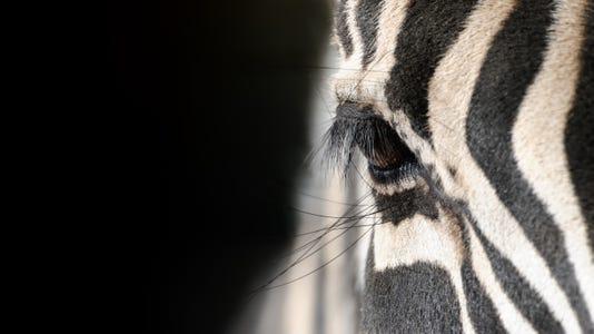 Eye Of A Zebra