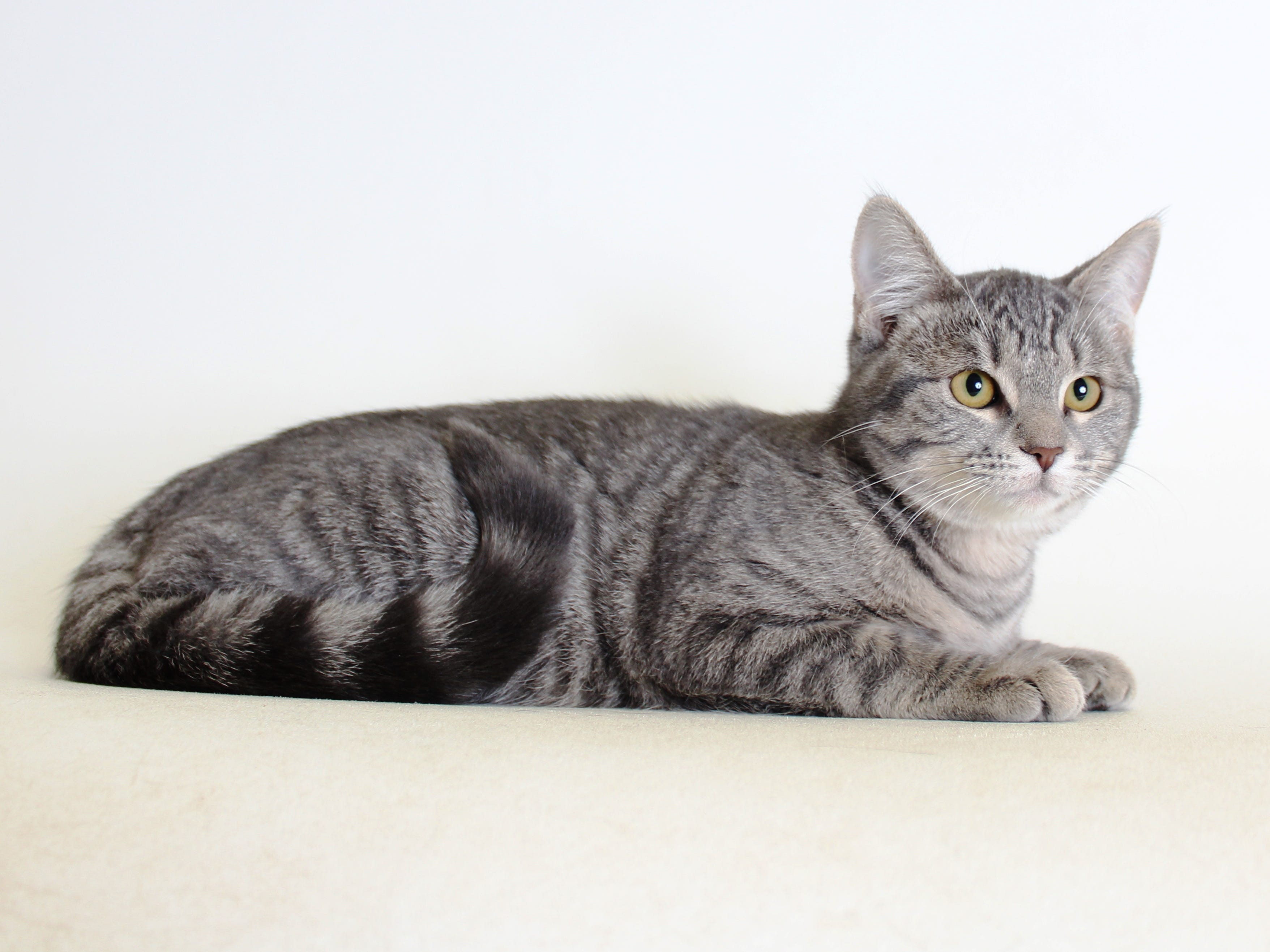 Squash is a 4-month-old, domestic-shorthair tabby kitten. She is loving, social and sweet, and wants to be a lap cat. All feline and canine adoptions include spaying or neutering, vaccinations and a microchip. Visit Haven Humane Society, 7449 Eastside Road, Redding. Call 241-1653. Go to www.havenhumane.net.