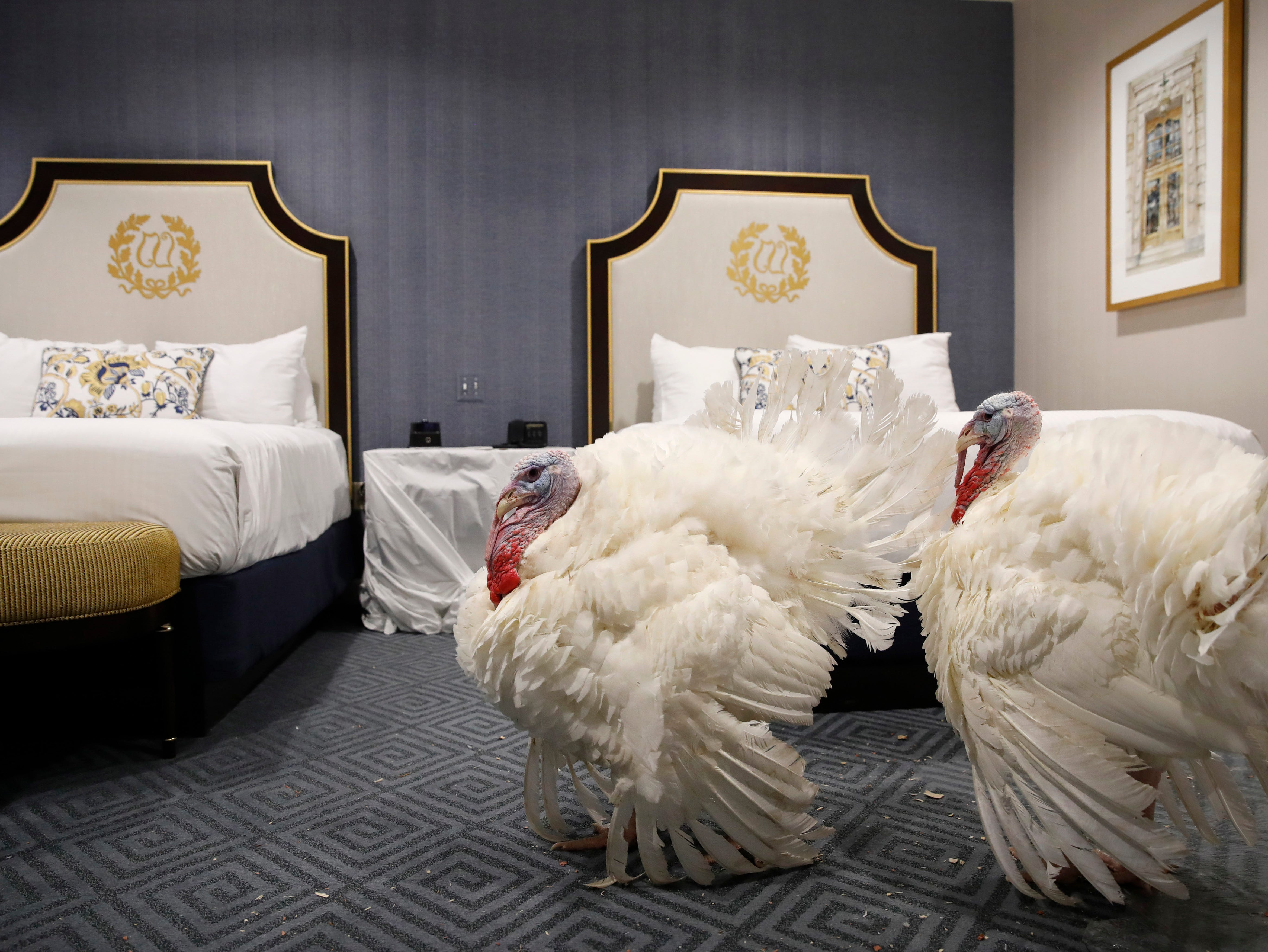 Two turkeys from South Dakota get comfortable in their room at the Willard InterContinental Hotel, after their arrival Saturday Nov. 18, 2018, in Washington. The turkeys will be named pardoned by President Donald Trump during a ceremony at the White House ahead of Thanksgiving. (AP Photo/Jacquelyn Martin)
