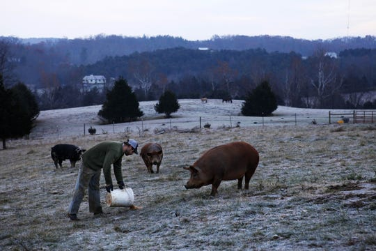 New to an old tradition: Farm manager Jeff Rohde feeds his hogs at Charis Eco-Farm in the early morning hours on Thursday, Nov. 15, 2012 in Staunton. The farm, which sits on 45 acres, is mostly meat-based and features beef, pork, goat, chicken, turkey and duck. Because it's a smaller farm and Rohde manages much of it, he has a lot of diversity in meat. He also knows many of the animals' individual personalities and has names for much of the livestock.