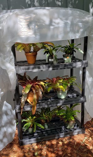 A makeshift greenhouse can be set up at the last minute. Cover shelving with plastic sheeting and use bricks to secure it to the ground, leaving no gaps for air to escape.