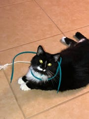 Wasabi loves to play with shoelaces.