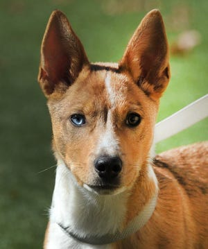 Ash is a very playful, Blue heeler/mix male that is looking for his new home. He is 4-months-old, good with people, cats and other dogs. You can find Ash and his friends at the Wichita Falls Animal Services Center.