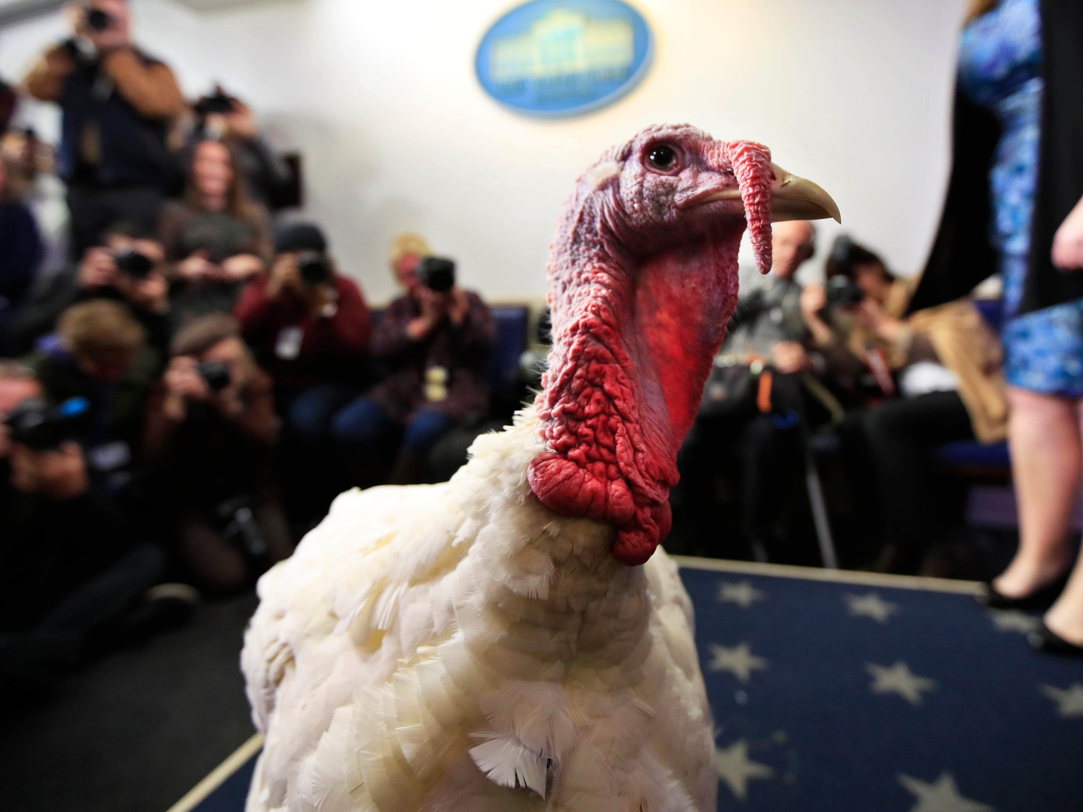 A live turkey is brought into the James S. Brady Press Briefing Room before the media at the White House, Tuesday, Nov. 20, 2018. The pardoning ceremony, to happen later, will mark its 71st year since it first took place in 1947.