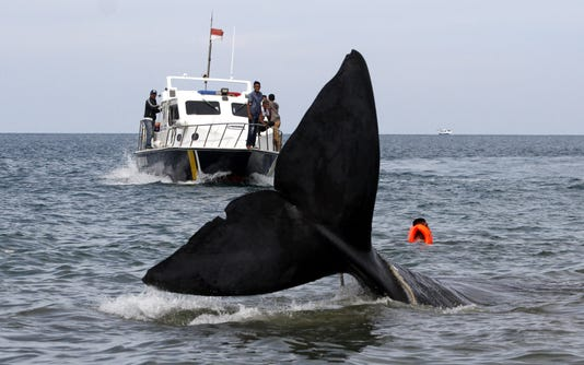 Epa Indonesia Aceh Sperm Whale Stranded Hum Animals Idn