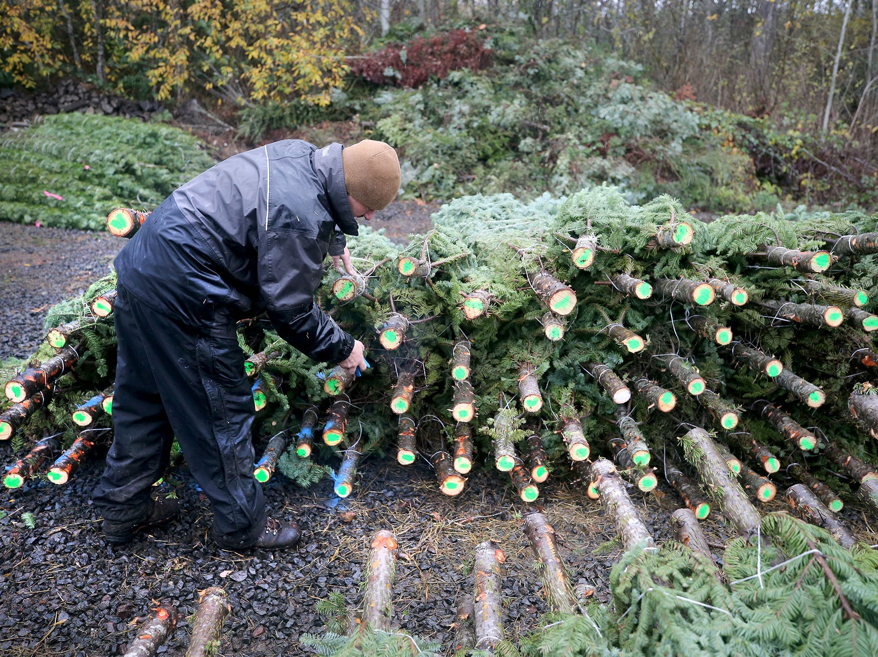 Josh Olmsted uses paint to mark cut Christmas trees on Wednesday, November, 21, 2018 at the tree farm in Poulsbo. The family has run a tree business for 50 years. Friday, November 23, is the opening day for the Poulsbo U-cut tree farm.