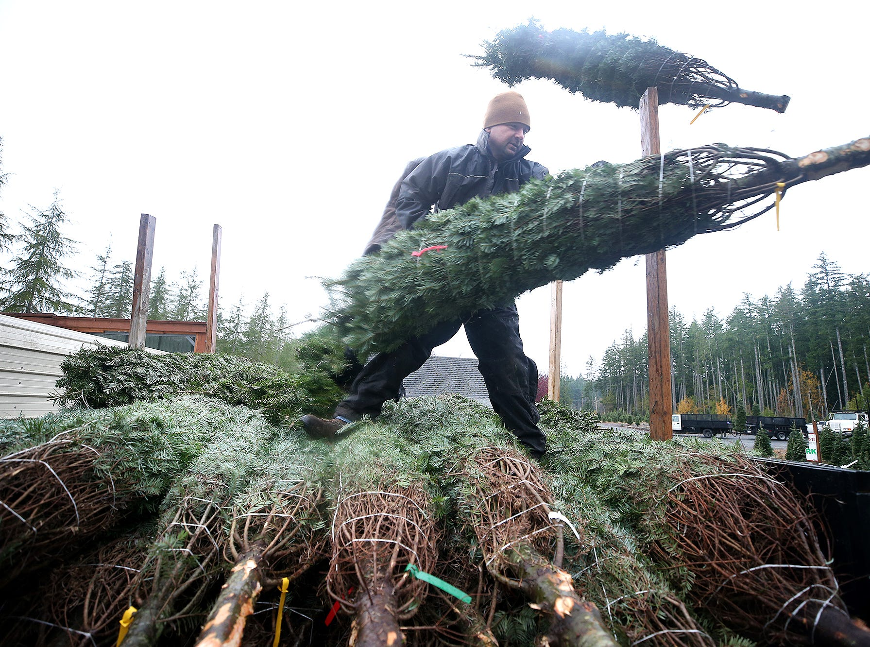 Josh Olmsted unloads a cut Christmas tree on Wednesday, November, 21, 2018 at the tree farm in Poulsbo. The family has run a tree business for 50 years. Friday, November 23, is the opening day for the Poulsbo U-cut tree farm.