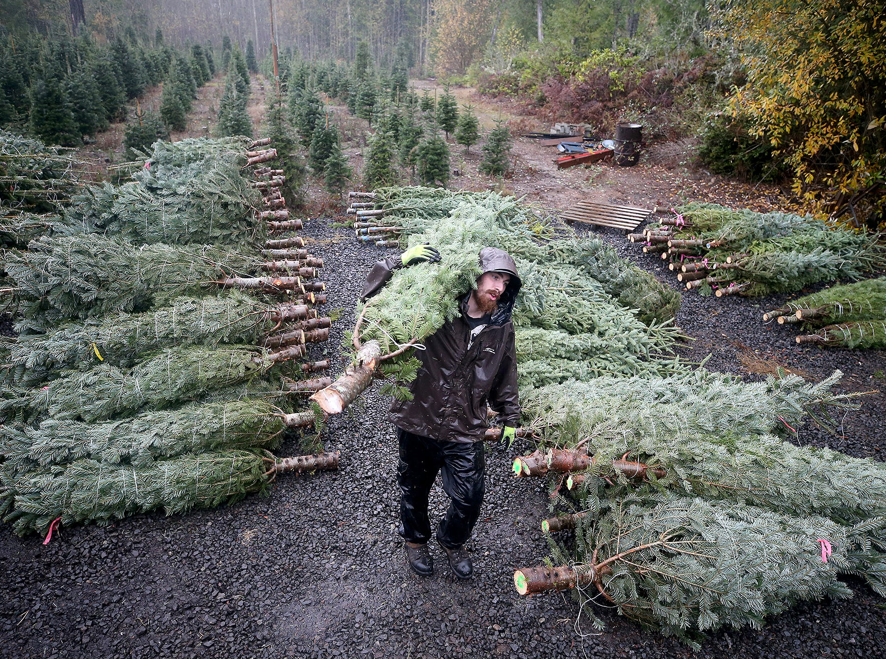 Olmsted Tree Farm worker Seth Morgan moves Christmas trees on Wednesday, November, 21, 2018 at the tree farm in Poulsbo. The family has run a tree business for 50 years. Friday, November 23, is the opening day for the Poulsbo U-cut tree farm.