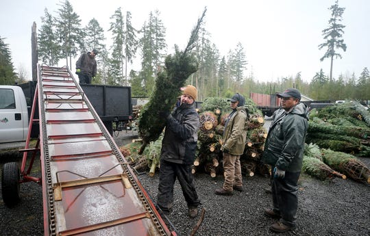 Josh Olmsted moves a cut Christmas tree to a conveyor on Wednesday at the tree farm in Poulsbo.
