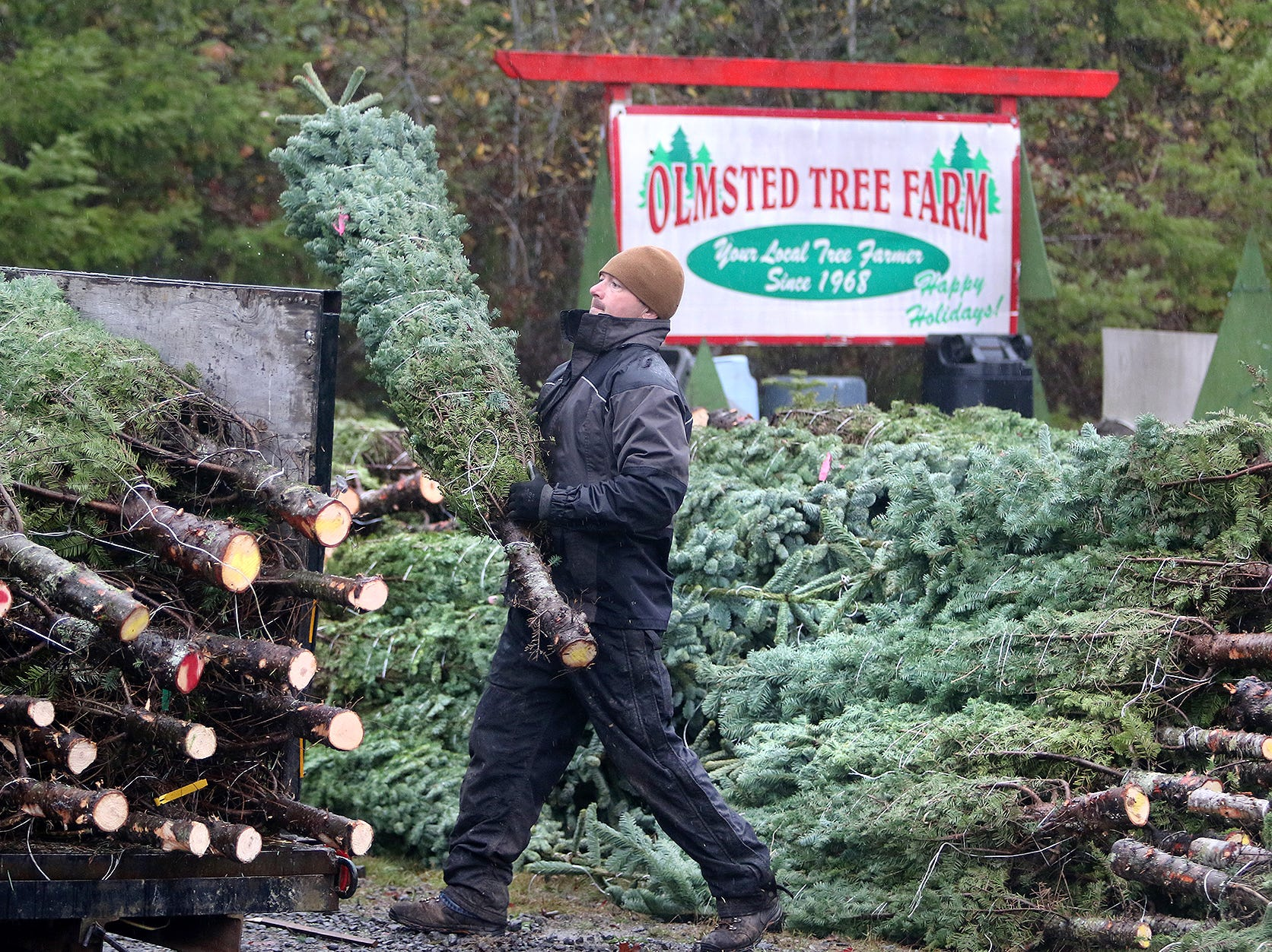Josh Olmsted moves a cut Christmas tree to a truck to be loaded for a run to a Kitsap lot on Wednesday, November, 21, 2018 at the tree farm in Poulsbo. The family has run a tree business for 50 years. Friday, November 23, is the opening day for the Poulsbo U-cut tree farm.
