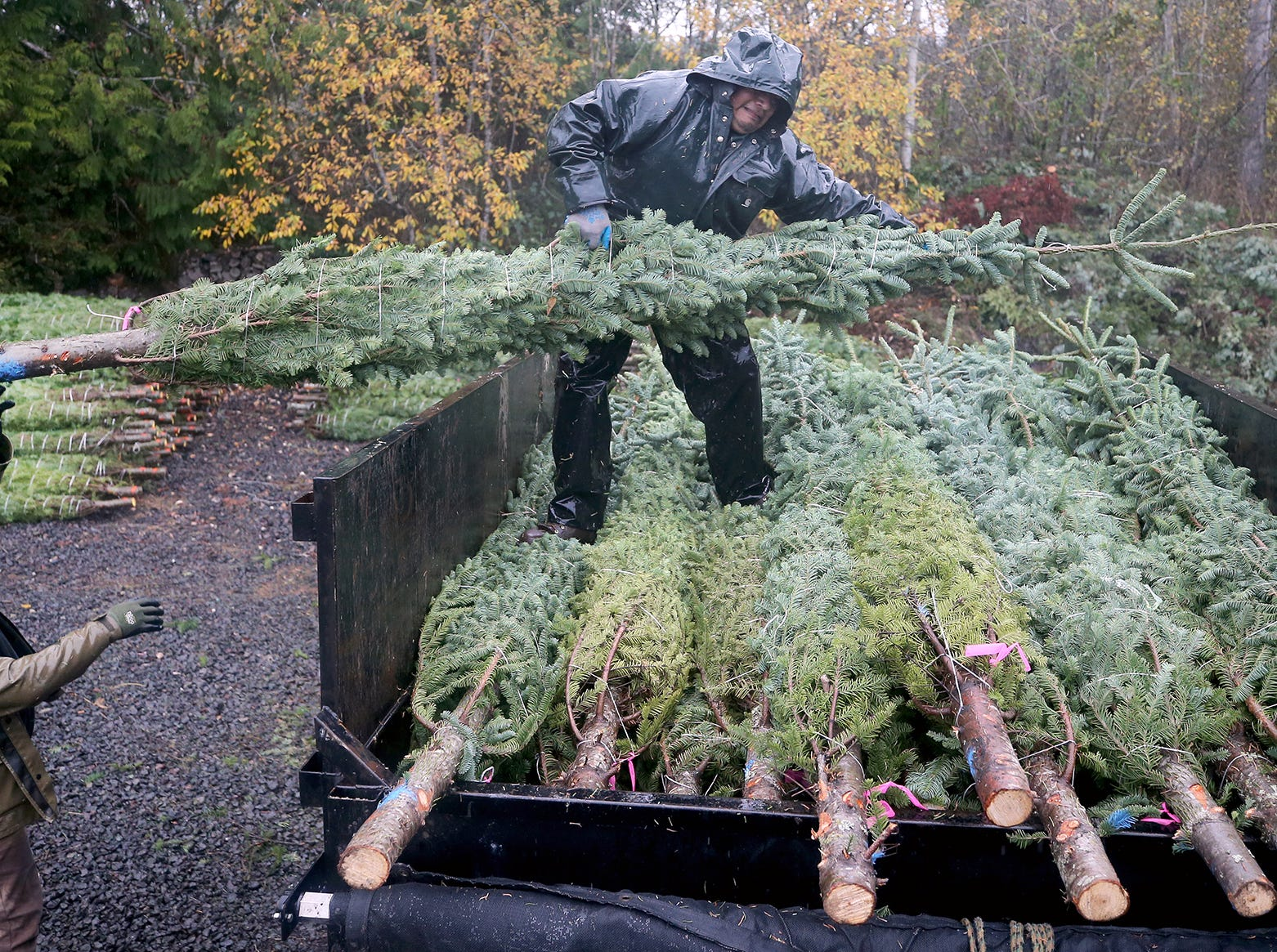 Jose Marcial, left, passes a large Christmas tree to Benny Flores at the Olmsted Tree Farm on Wednesday, November, 21, 2018 at the tree farm in Poulsbo. The family has run a tree business for 50 years. Friday, November 23, is the opening day for the Poulsbo U-cut tree farm.