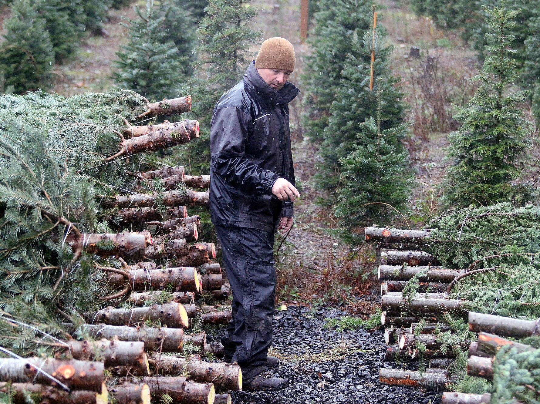 Josh Olmsted counts cut Christmas trees on Wednesday, November, 21, 2018 at the tree farm in Poulsbo. The family has run a tree business for 50 years. Friday, November 23, is the opening day for the Poulsbo U-cut tree farm.