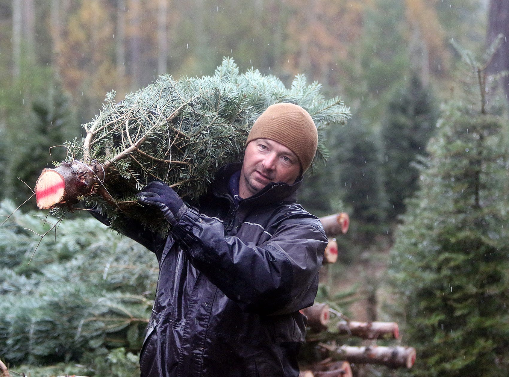 Josh Olmsted moves a cut Christmas tree to a truck to be loaded for a run to Seattle on Wednesday, November, 21, 2018 at the tree farm in Poulsbo. The family has run a tree business for 50 years. Friday, November 23, is the opening day for the Poulsbo U-cut tree farm.