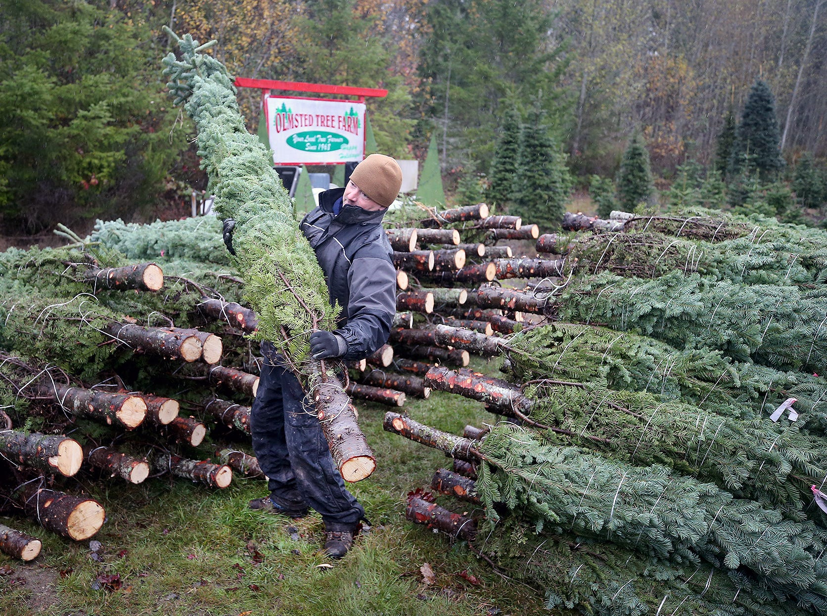 Josh Olmsted lifts a large  cut Christmas tree to a truck to be loaded for a run to a Kitsap lot on Wednesday, November, 21, 2018 at the tree farm in Poulsbo. The family has run a tree business for 50 years. Friday, November 23, is the opening day for the Poulsbo U-cut tree farm.