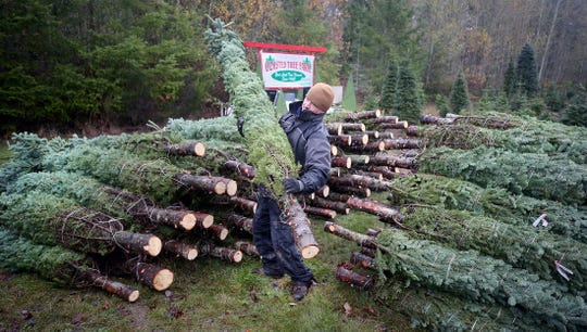 Josh Olmsted lifts a large cut Christmas tree to a truck to be loaded for a run to a Kitsap lot on Wednesday.