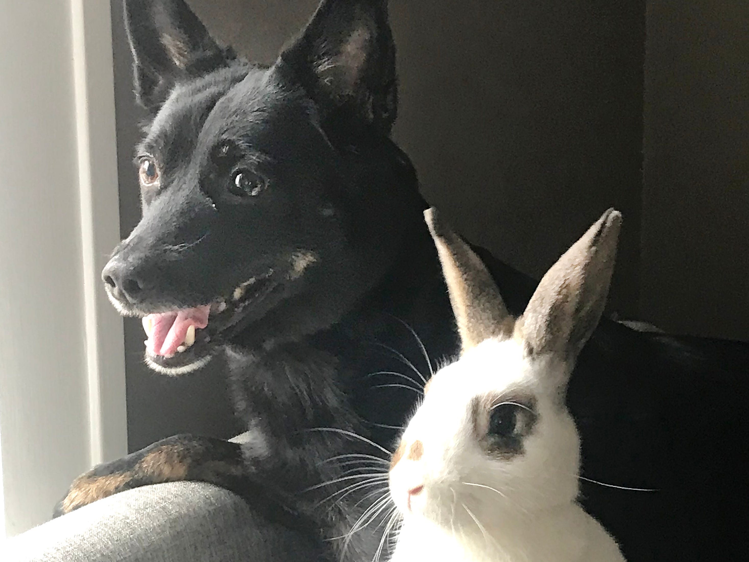 An 11-year old miniature pinscher mix and a 5-month old bunny stare out the window together after meeting for the first time over the Thanksgiving holiday in Rochester, Michigan.