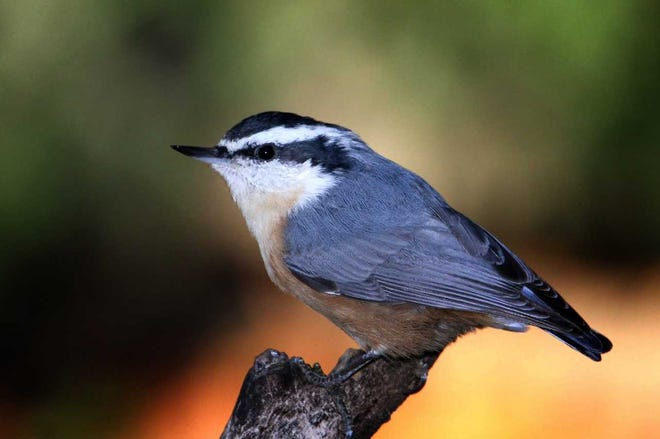Readily identified by their bandit-masked faces, red-breasted nuthatches, smaller and quicker than our year-round white-breasted nuthatches, typically arrive first among irruption-year visitors.