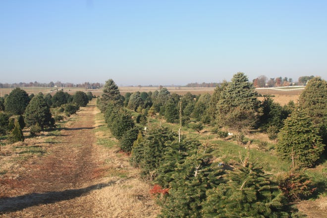 Locally grown Christmas trees fill one of the three fields of trees at Goebel Farms.