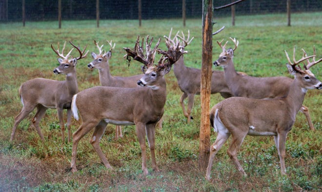 Bucks are seen in one of the pens at the Wilderness Whitetails breeding farm in Rosholt, Wis. Fatal chronic wasting disease has spread among Wisconsin's wild and captive deer populations since 2002.