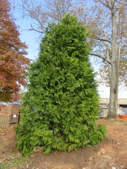 A Green Giant Arborvitae has been planted at Everly Brothers Park to replace the dying Leyland Cypress trees. It will have lights on it during the holiday season.