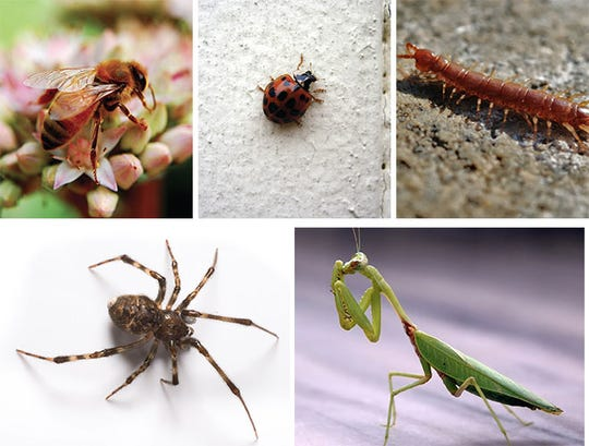 Beneficial bugs: (Clockwise from upper left) The honeybee, ladybug, centipede, praying mantis, spider.