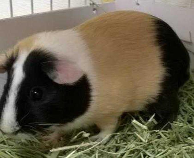 Lili - Female guinea pig, adult. Intake date:10-26-2018