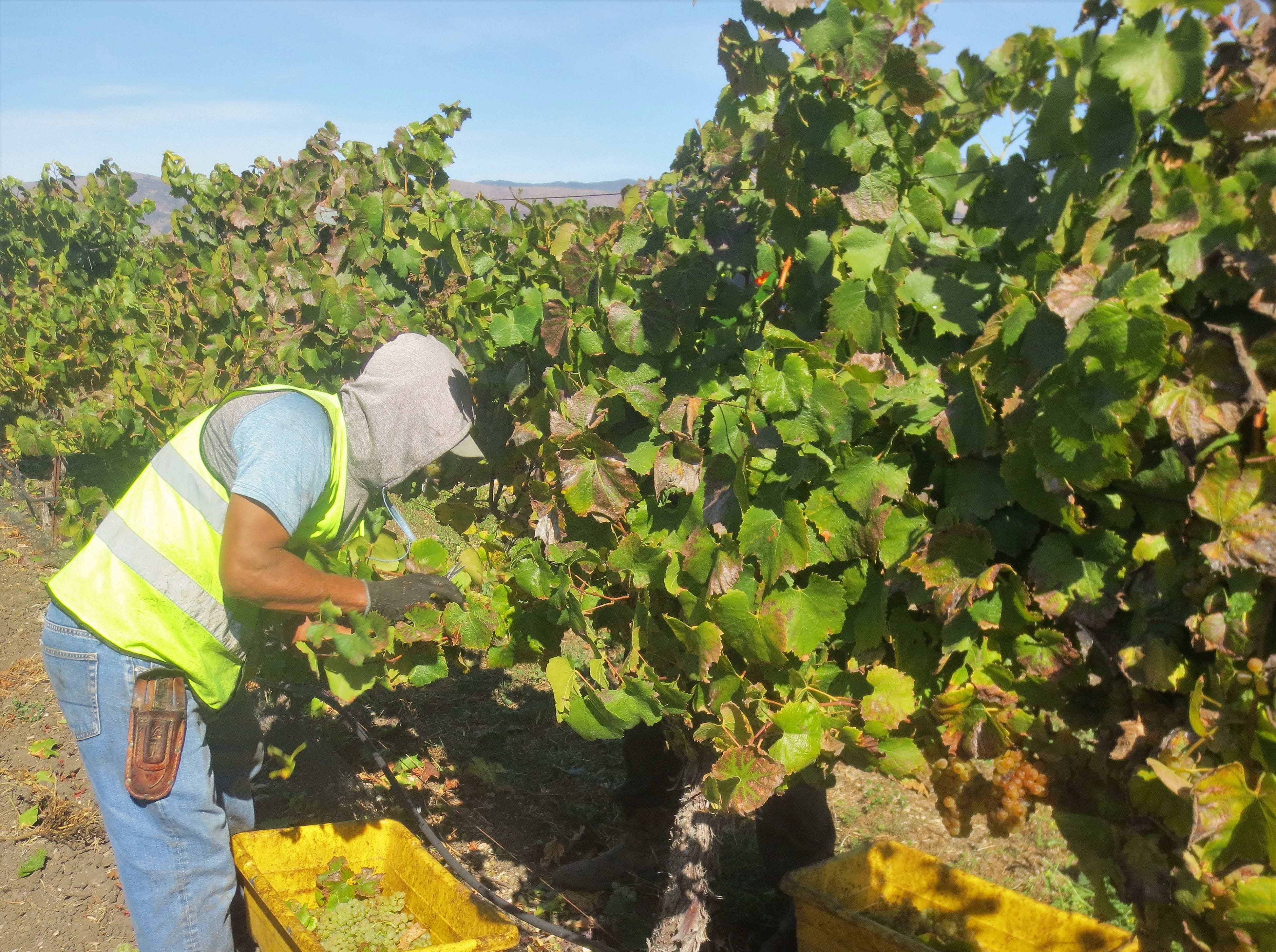 Harvesting grapes at a vineyard in the Edna Valley of San Luis Obispo County, California. The valley has more than 250 wineries.