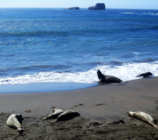 Elephant seals lounge on the beach at the San Simeon rookery.