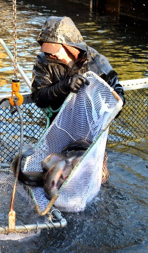 Dustin Fickler, a hatchery tech at Roaring River, loads brooders into a net to be hoisted up to a waiting stocking truck.