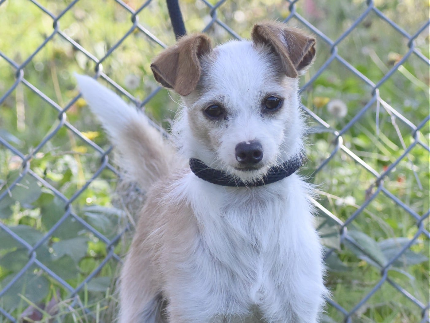Dawson is a 2-year-old male red and white Jack Russell terrier mix. He is a sweet little guy who loves to climb in your lap and be petted. Dawson loves going for walks and enjoys other dogs. For information, contact Marion County Dog Services at 503-588-5366.