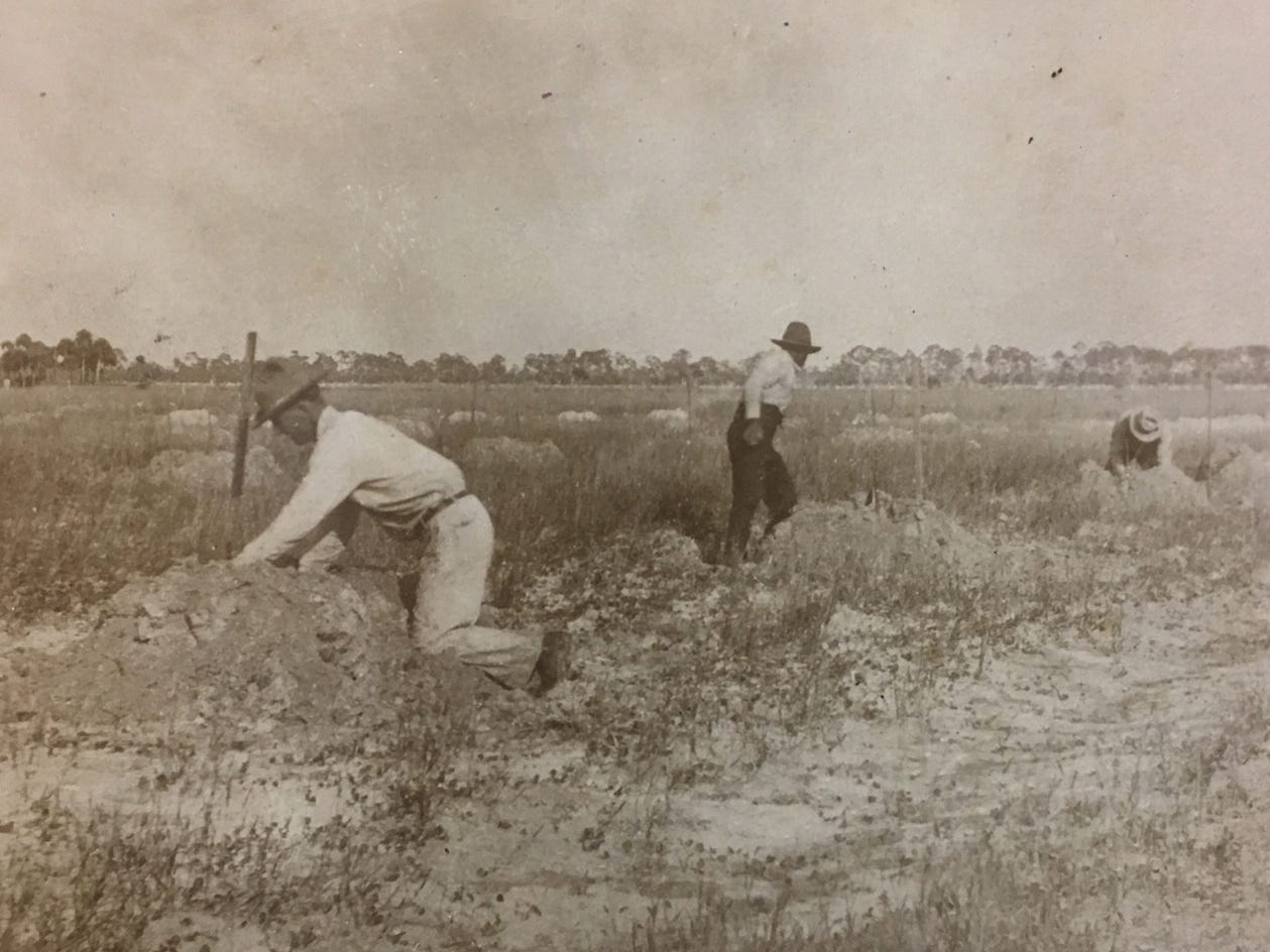 Readying the Thompson orange and grapefruit grove in Utopia Farms in Indian River Farms, Jan. 10, 1917.