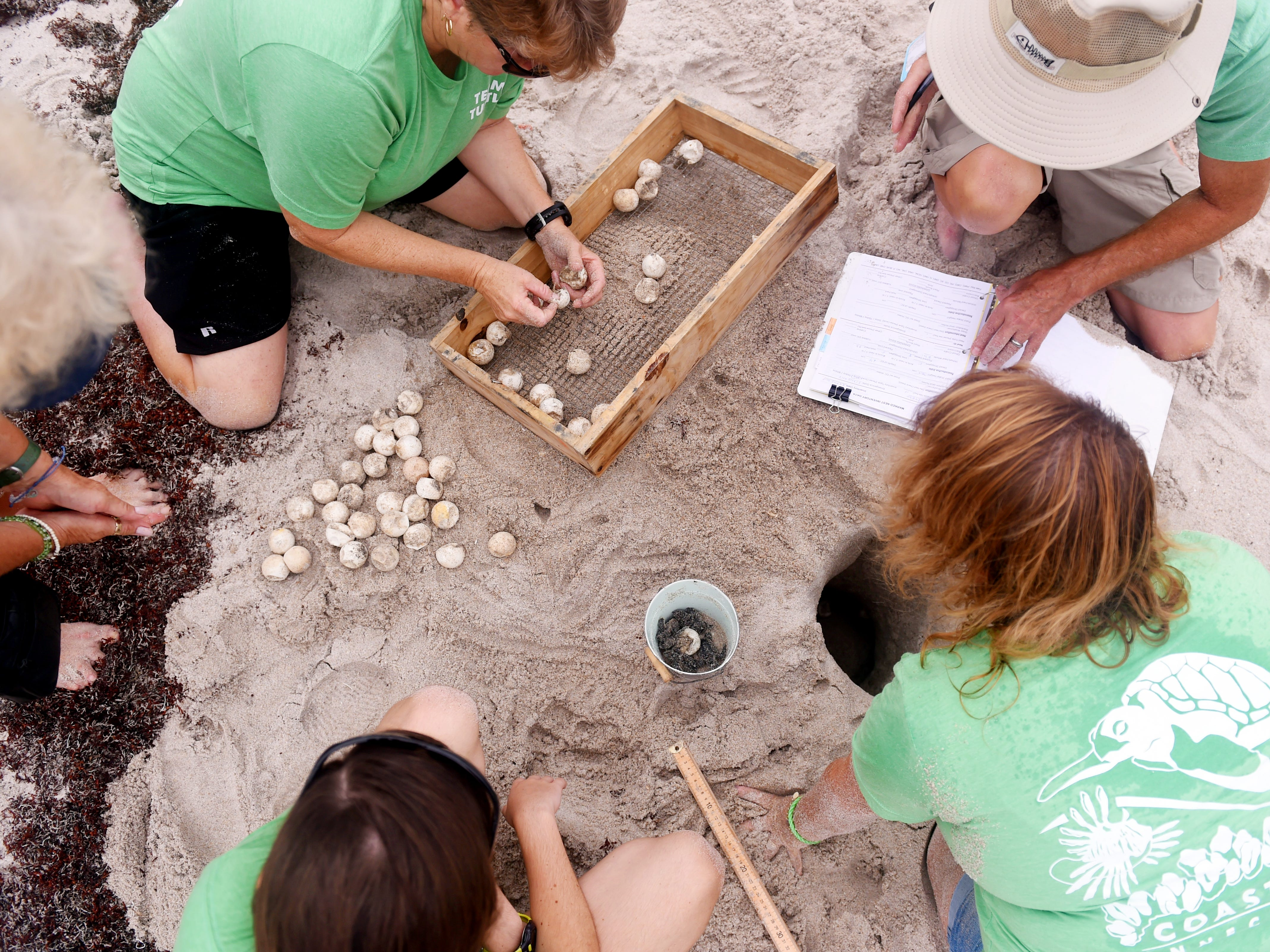 """Coastal Connections vice president Sherri Davis (clockwise from top left) and volunteers David Cranton, Celeste McWilliams and Cori McWilliams take a survey of a recently hatched loggerhead turtle nest during a turtle dig, a public nest excavation, Tuesday, July 24, 2018 to determine how many eggs were in the nest, how many hatched and to see if there are any turtles that need to be rescued that didn't make it out of the nest near Sexton Plaza in Vero Beach. """"This is an educational opportunity to allow guests and residents of our area to feel more connected and learn about what we're doing on our beaches to protect our sea turtles,"""" said Kendra Cope, president of Coastal Connections. """"Three days after a nest hatches we have to evaluate that nest, we need to find out how successful it was. This gives us an opportunity to do this for the public and do a presentation about why we're doing this and teach others how they can protect turtles and make our beaches a better place for them to come and nest."""" Volunteers found four hatchlings in the nest and released them into the water in front of about 150 people."""