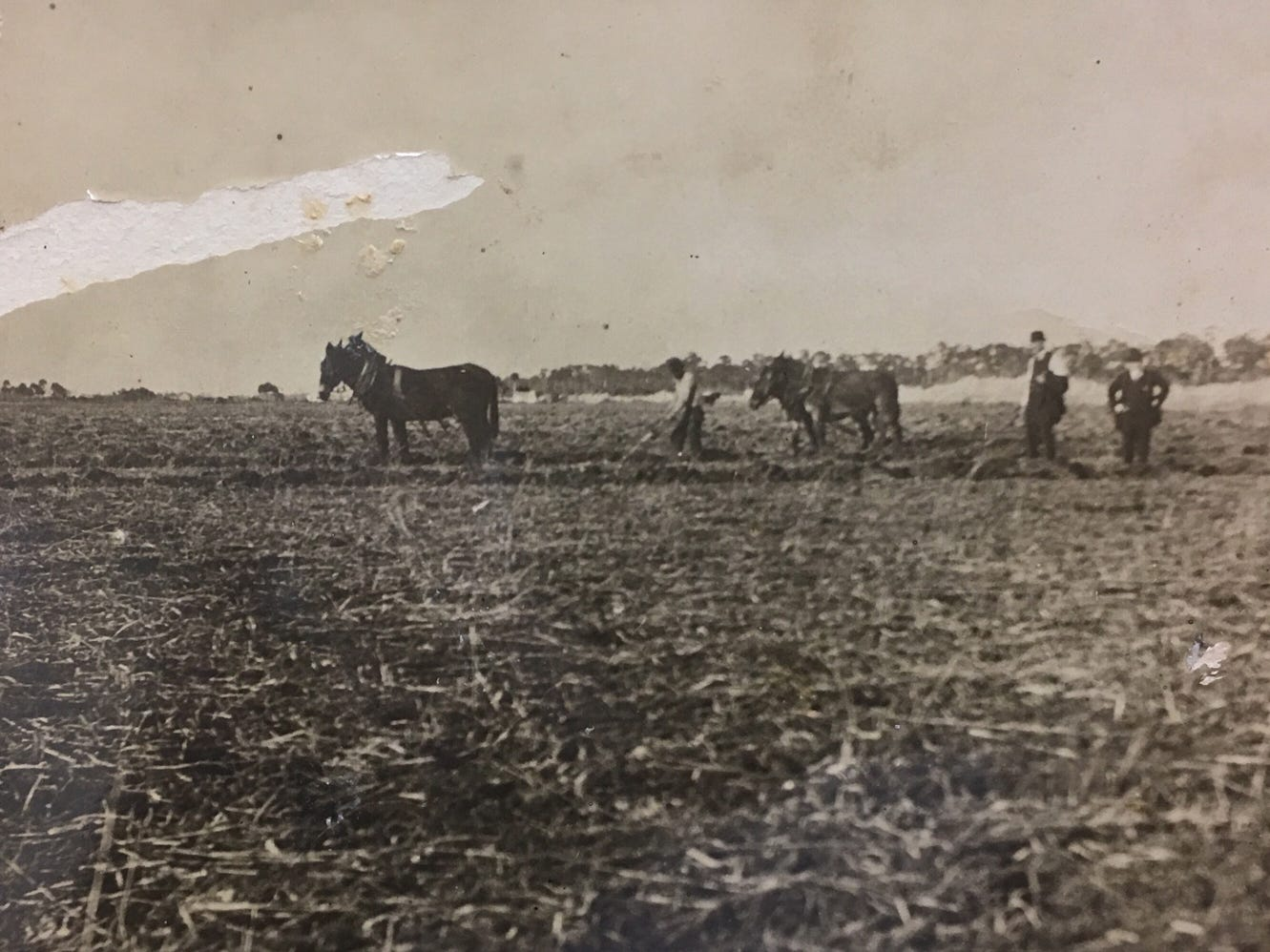 Breaking up the new muck in the prairie lands for the winter cabbage crop in Indian River Farms area, pre-1920.