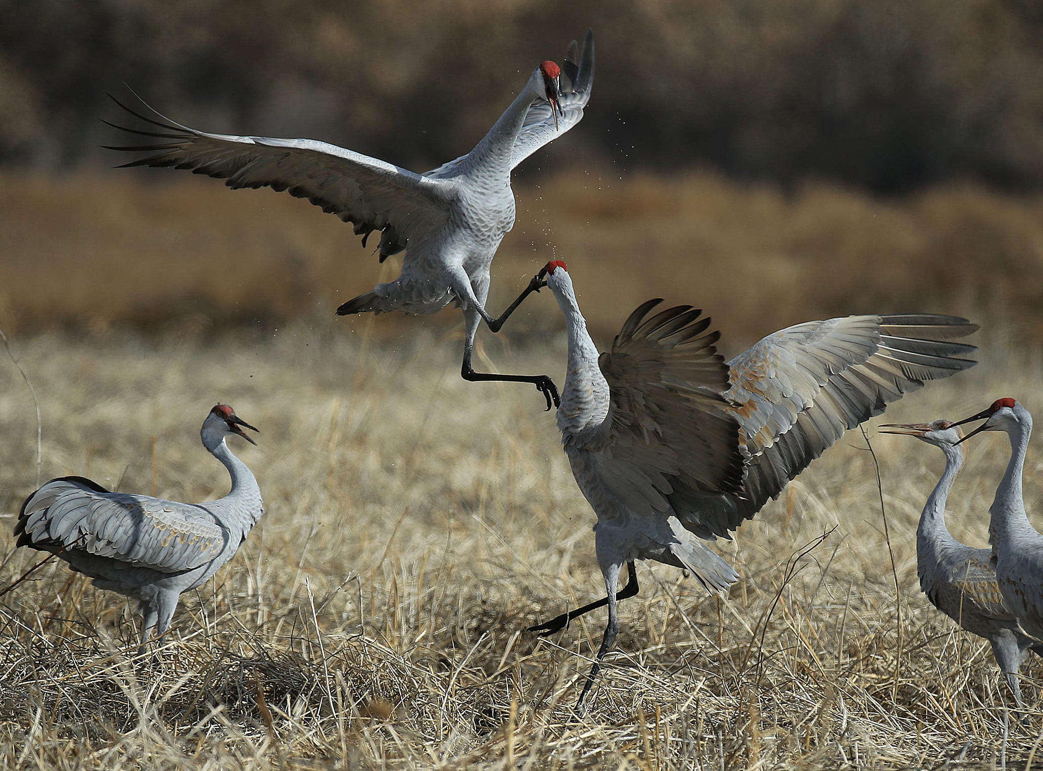 Migratory birds arrive at Bosque del Apache National Wildlife Refuge