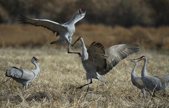 Sandhill cranes face off in a ruffle bow at Bosque del Apache National Wildlife Refuge. Approximately 15,000 cranes and tens of thousands of snow geese migrate through the New Mexico wetlands.