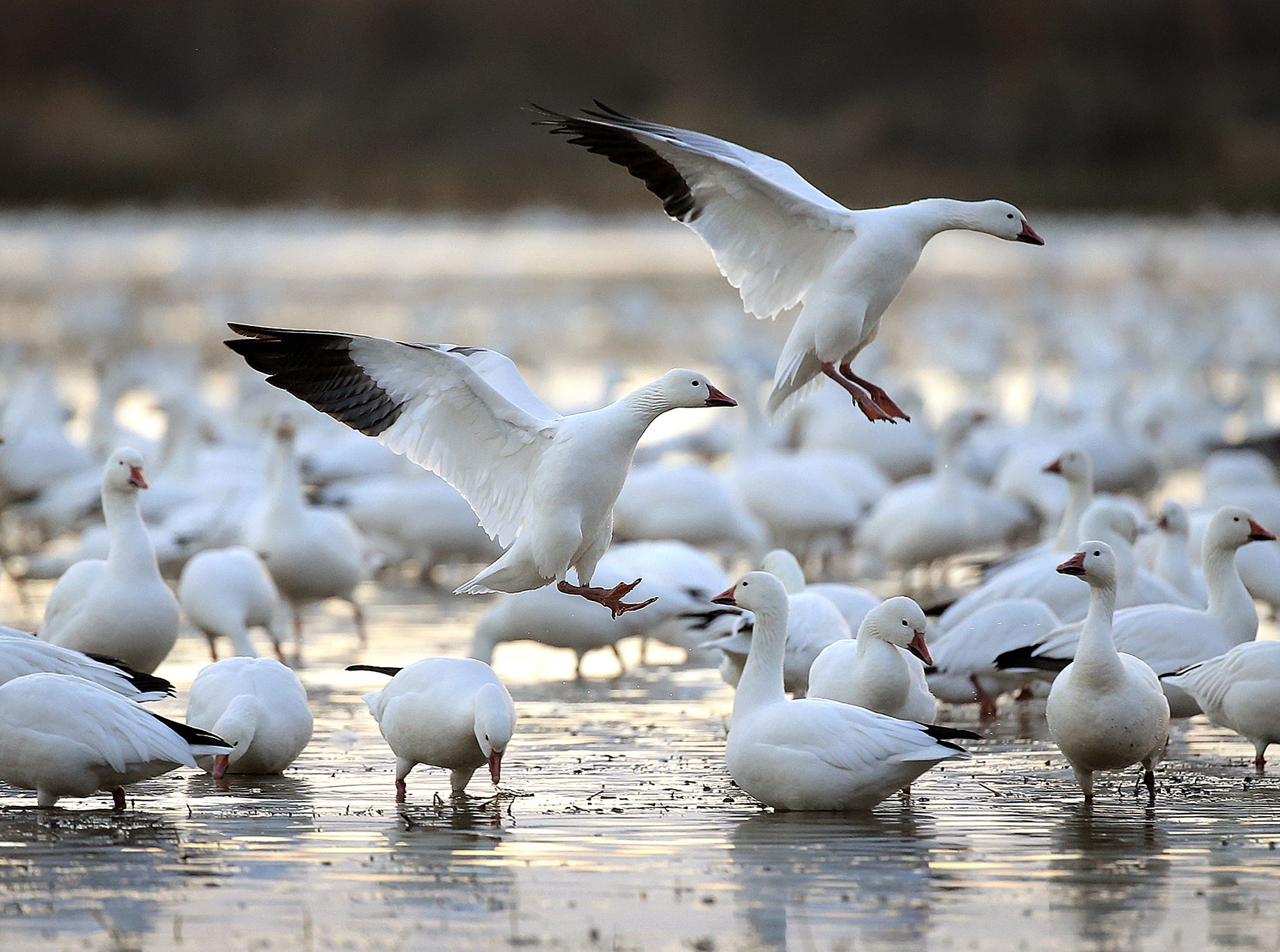 Snow geese land carefully in a sea of geese at Bosque del Apache National Wildlife Refuge.