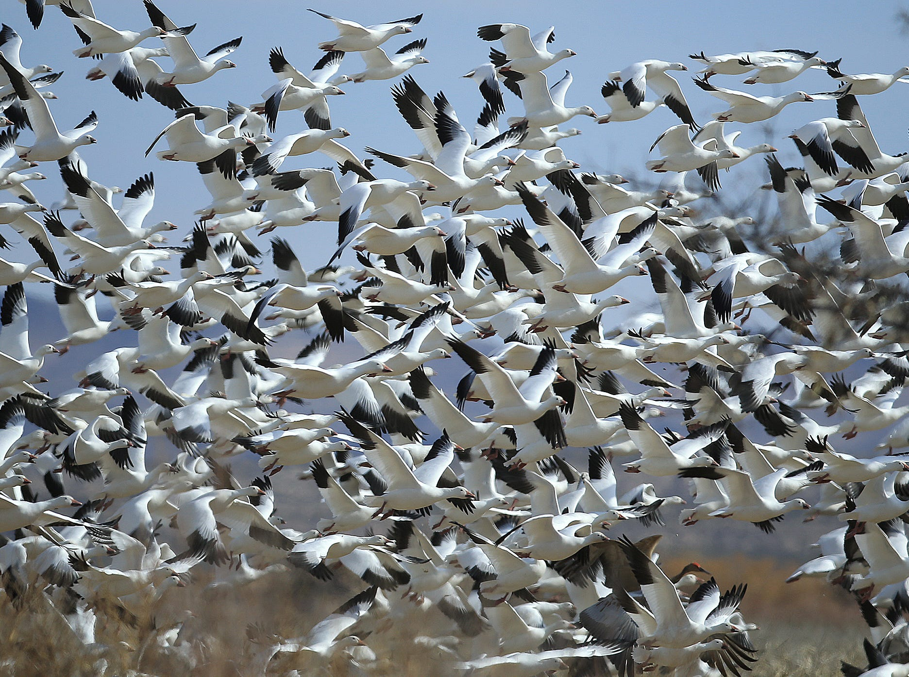 "The sky goes white as thousands of Snow Geese ""blast off"" at Bosque del Apache National Wildlife Refuge."