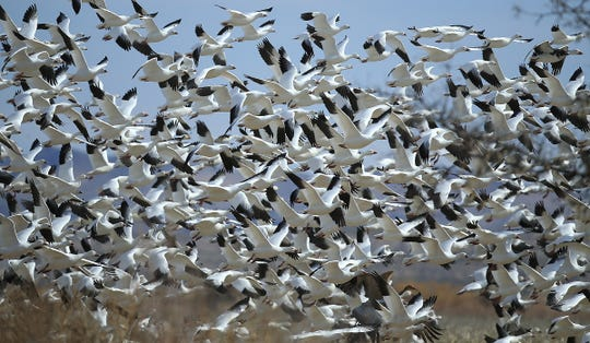 """The sky goes white as thousands of Snow Geese """"blast off"""" at Bosque del Apache National Wildlife Refuge."""