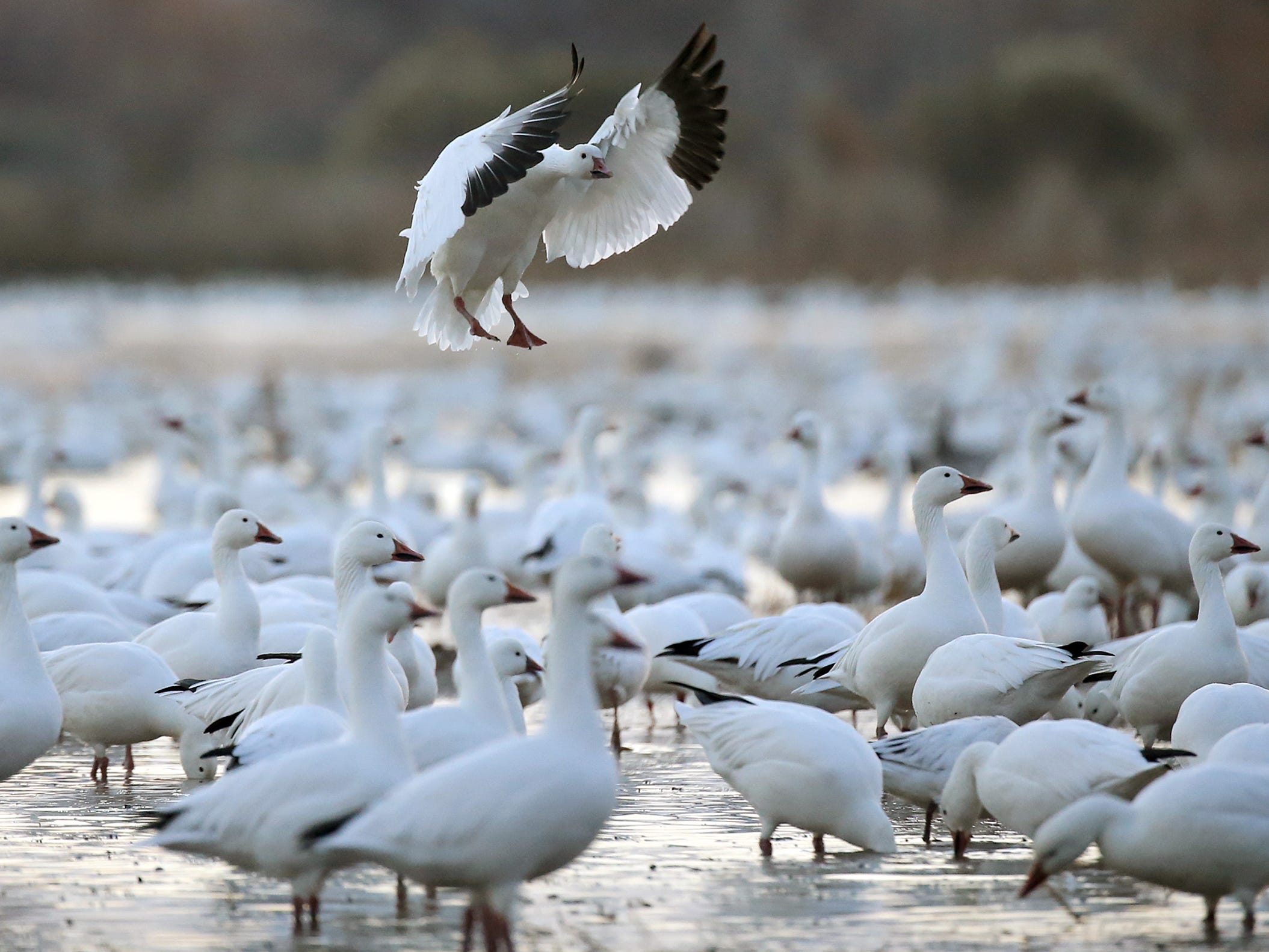 A Snow Goose lands carefully in a sea of geese at Bosque del Apache National Wildlife Refuge.