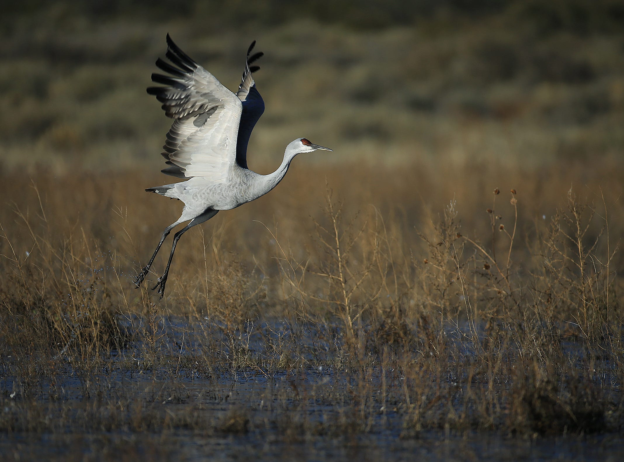 A Sandhill Crane takes flight at the Crane Pond on the north end of Bosque del Apache National Wildlife Refuge. Tens of thousands of cranes us the bosque as a resting spot during their annual migration.