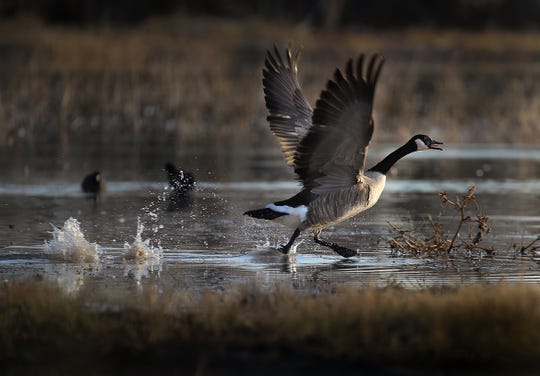A Canada goose takes flight at Bosque del Apache National Wildlife Refuge.