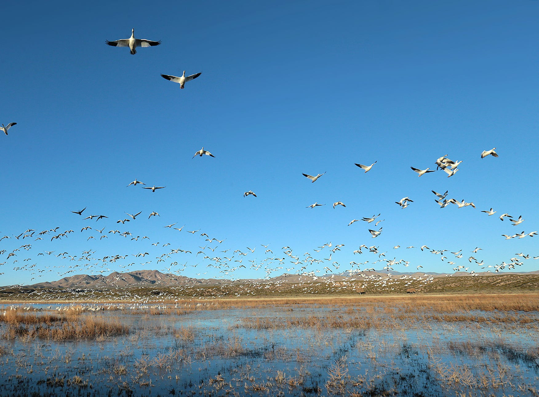 A large flock of Snow Geese arrive at the Crane Pond at Bosque del Apache National Wildlife Refuge before leaving for a day of feeding.