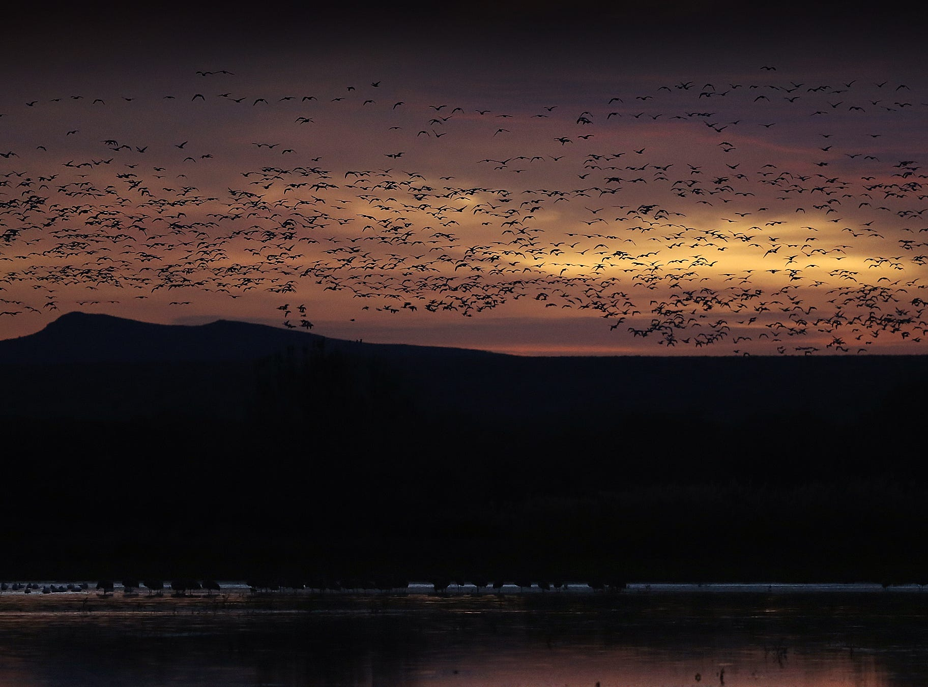 Sandhill Cranes fill the sunrise during their mass ascension in the wee hours of the morning. About 15,000 cranes fill the sky as the sun rises at Bosque del Apache National Wildlife Refuge.